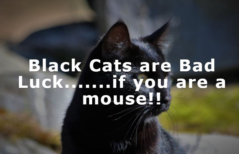 Photo of Black Cat - Black Cats are Bad Luck....If your are a mouse